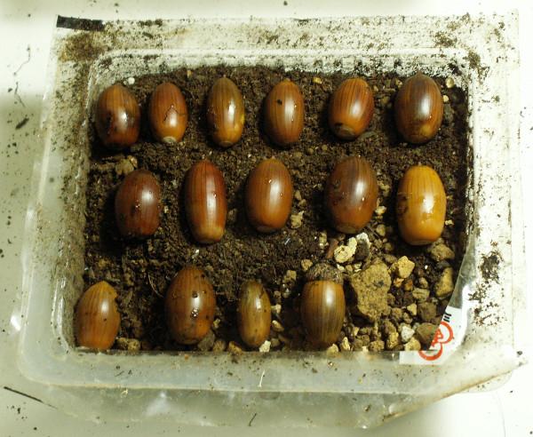 acorn3